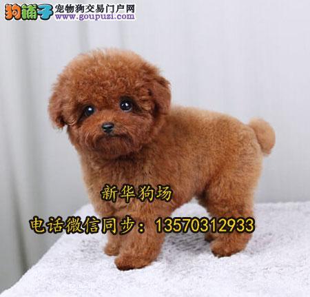深圳哪有灰色贵宾犬买 深圳龙华卖狗的地方