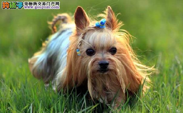 成年约克夏的体重约克夏梗犬的正常体重范围