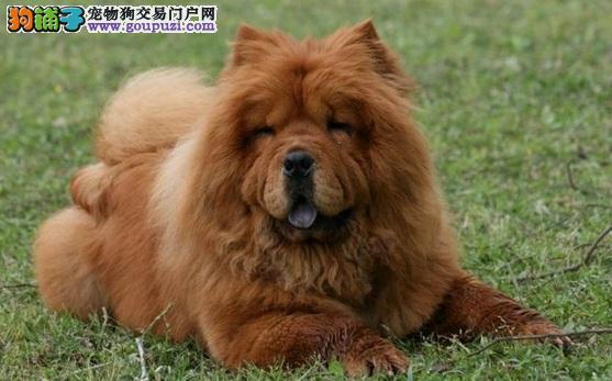选购松狮犬幼犬时有哪些问题需要注意