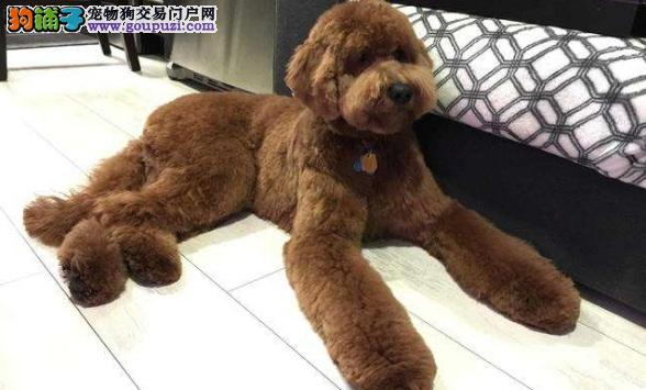 巨型贵宾犬多少钱 巨贵的外貌及性格特点