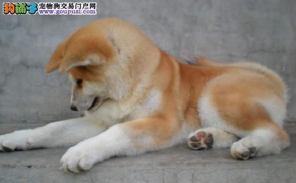 如何给秋田犬修剪指甲 给秋田犬剪指甲的方法