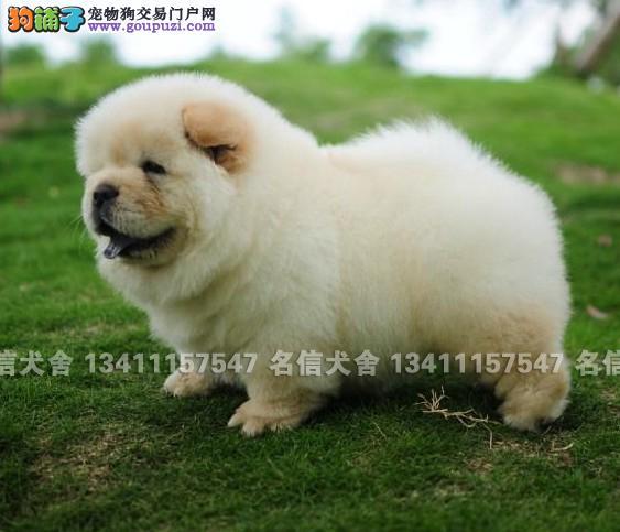 中山松狮犬一只多少钱 中山正规狗场批发