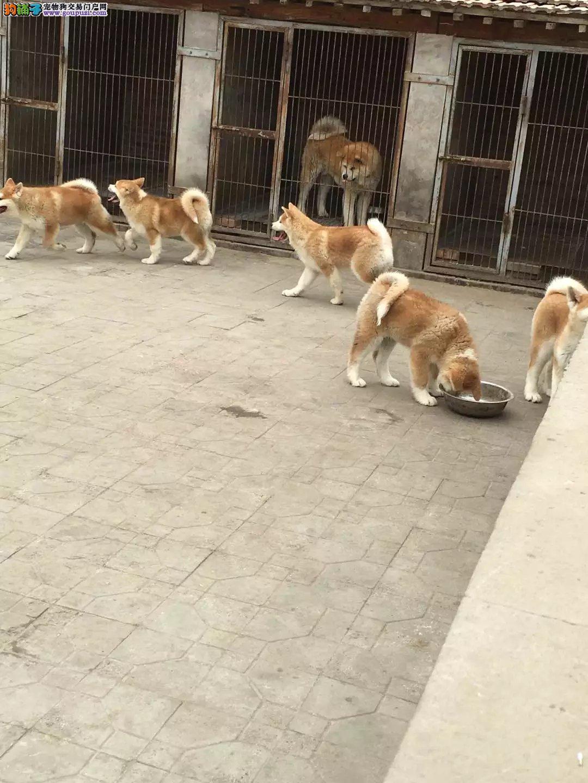 犬舍常年繁殖纯种健康的日系秋田犬