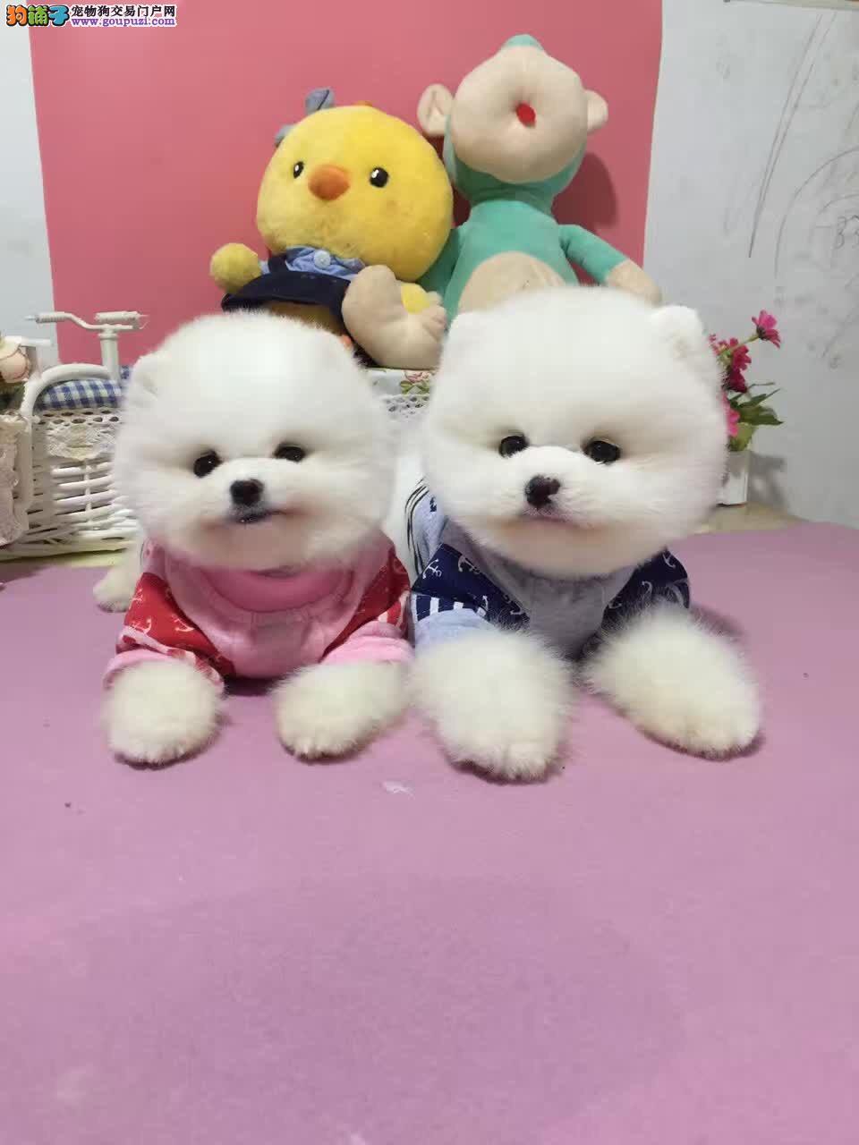 深圳哪里买狗 深圳哪里买纯种博美犬 找广东南官狗场