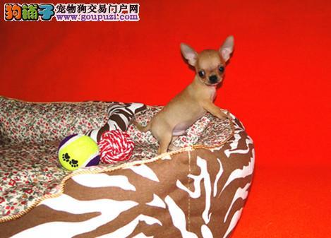 苹果头,墨西哥吉娃娃犬 小型犬 吉娃娃