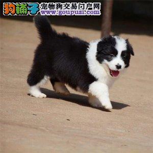 智商第一的边境牧羊犬 温顺聪明 赛级幼犬 健康纯种