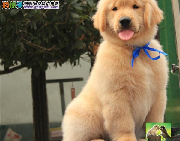 超级黄金血统 纯种金毛犬 赛级金毛 大骨量 值得拥有