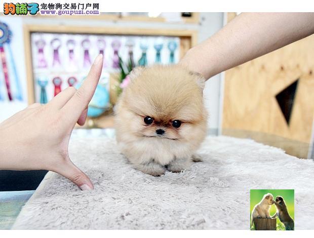 超可爱哈多利版球体博美幼犬抵挡不了的诱惑纯种博美