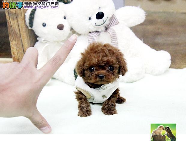 专业繁育纯种泰迪熊狗狗,毛量好,血统纯,信誉保障