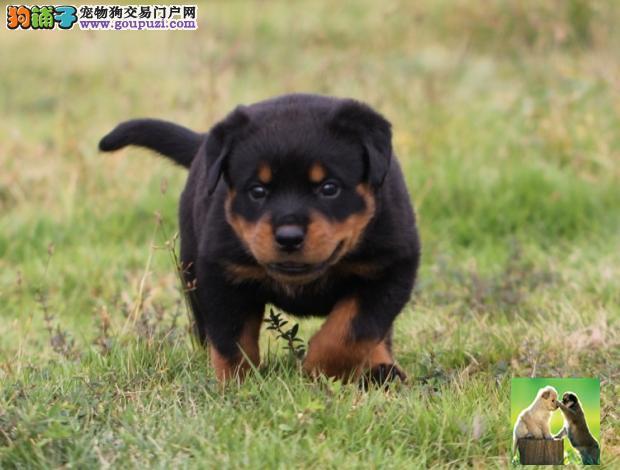 德系大头罗威纳犬/纯正血统,极品罗威纳幼犬待售