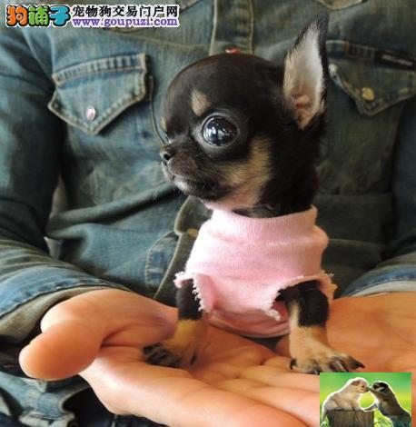 可爱苹果头吉娃娃犬纯种健康体型娇小你的专属狗狗