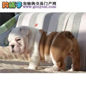 超级卖萌的天使微笑天使萨摩耶纯白色萨摩耶幼犬
