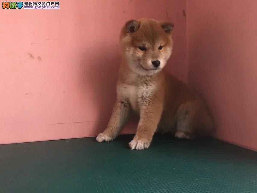 郑州日系柴犬价格 郑州哪里卖黑色的柴犬 柴犬多少钱