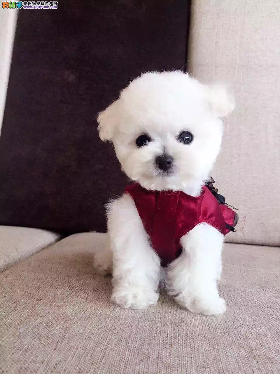 出售茶杯犬茶杯泰迪幼犬