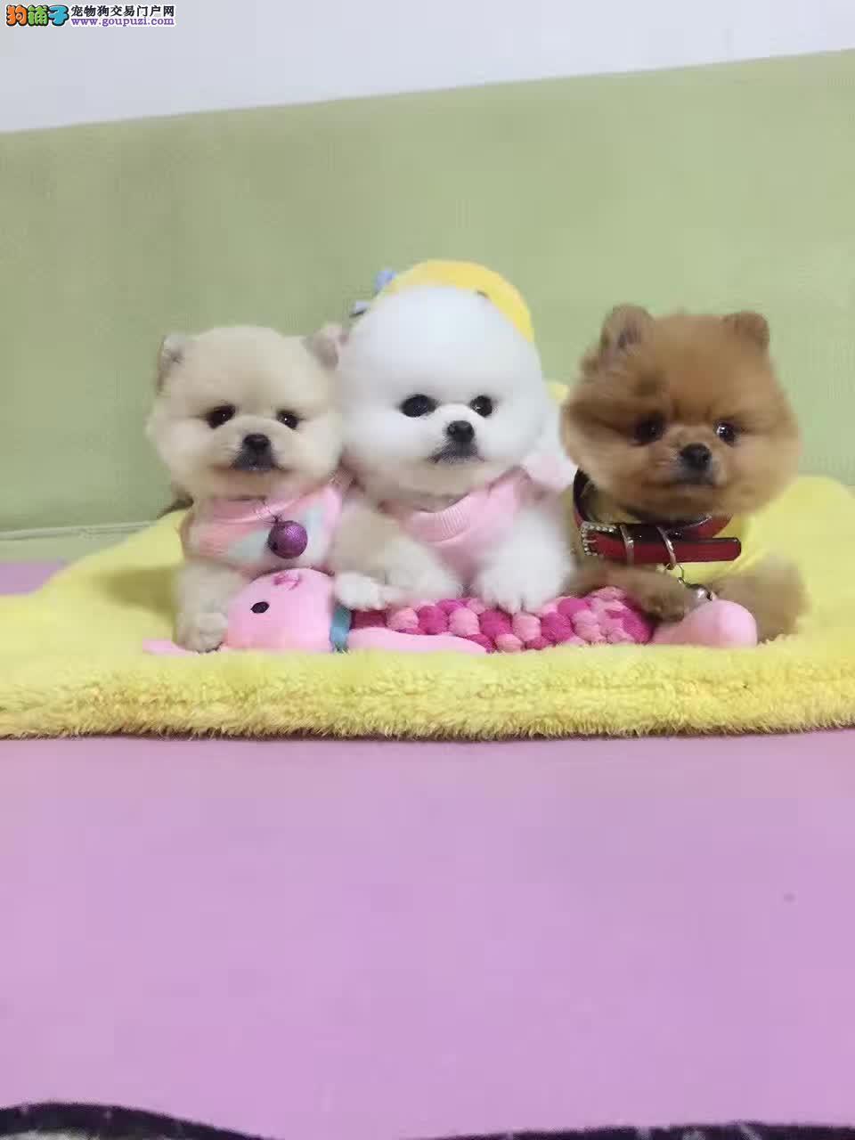 俊介犬,纯种哈多利博美犬出售