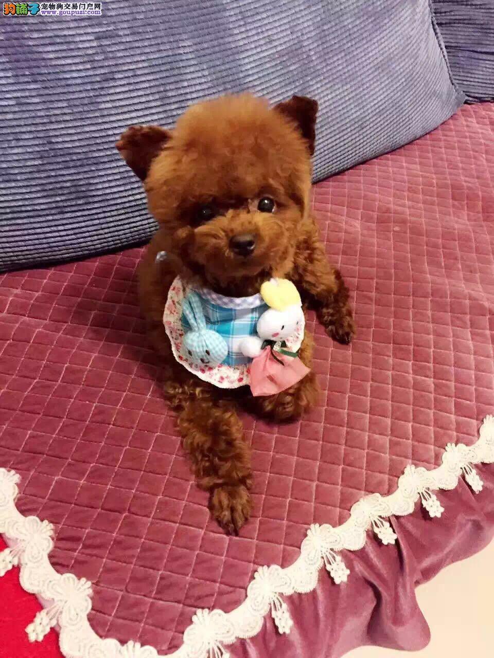 纯种韩系泰迪熊 茶杯、玩具 可爱至极