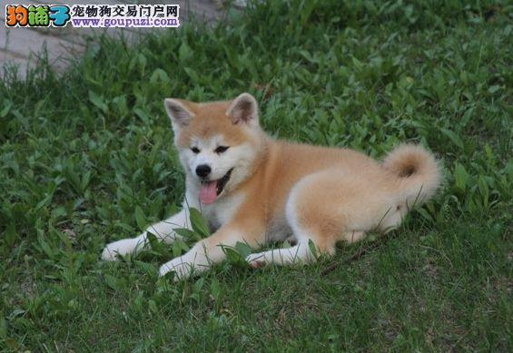 温顺日系秋田犬,大气款,档次高