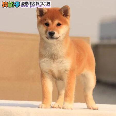 家养双血统日本柴犬幼犬出售可实体店看狗