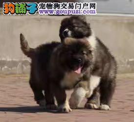 高加索猛犬护卫犬大头大骨量毛量
