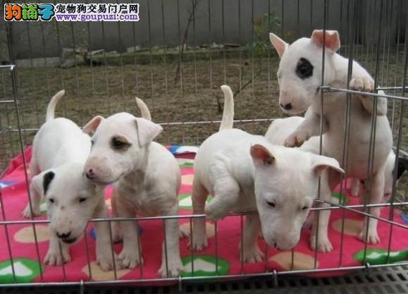 松江区买牛头梗价格狗场狗市场宠物店