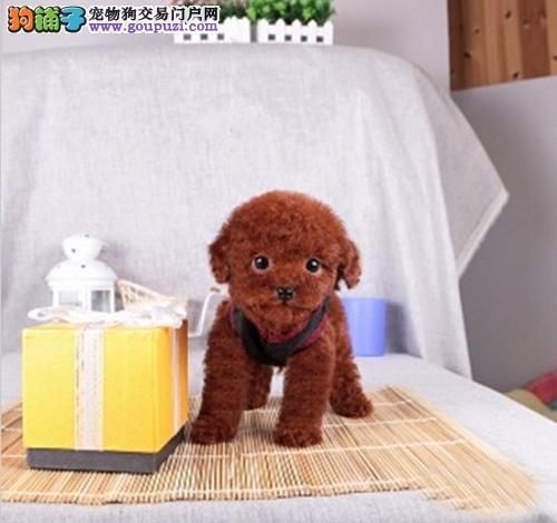 广州纯种茶杯犬价格 哪里有卖茶杯犬 包健康可送货