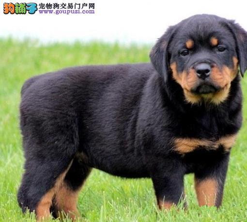广州哪里有卖罗威纳犬 纯种罗威纳犬价格 包健康可送货