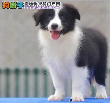 广州纯种边境牧羊犬价格 哪里有卖边牧犬 包健康可送货