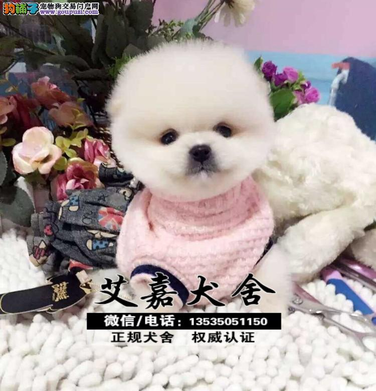 江门哪里有卖博美犬 江门博美犬好养活吗