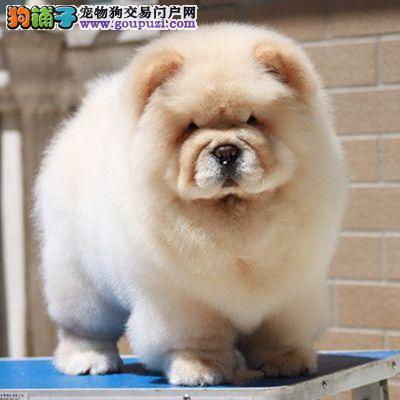 广州纯种松狮犬哪里有卖 广州松狮犬价格 可送货