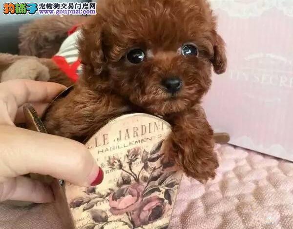 广州纯正血统茶杯犬价格 广州哪里有卖纯种茶杯犬