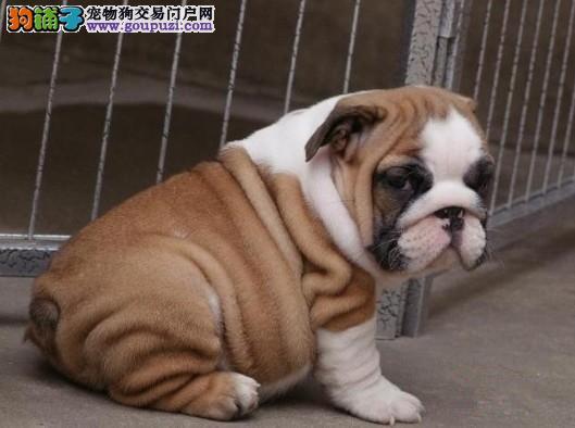 广州英国斗牛犬价格多少钱 广州哪里有卖纯种斗牛犬