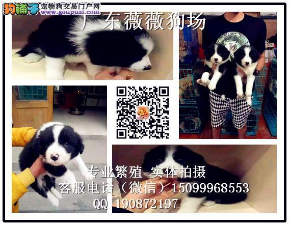 广州哪里有卖广州边牧幼犬一只多少钱
