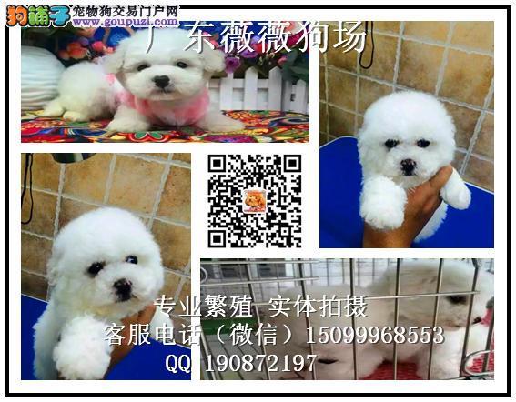 广州家养宠物狗哪里有卖 广州比熊纯种价格