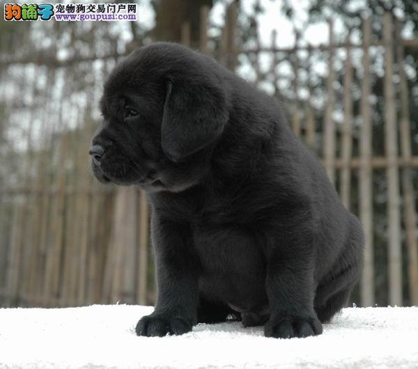 赛级拉布拉多 纯种拉布拉多犬 导盲犬