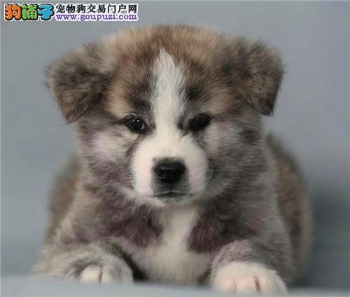 秋田犬 犬舍常年繁殖纯种秋田犬