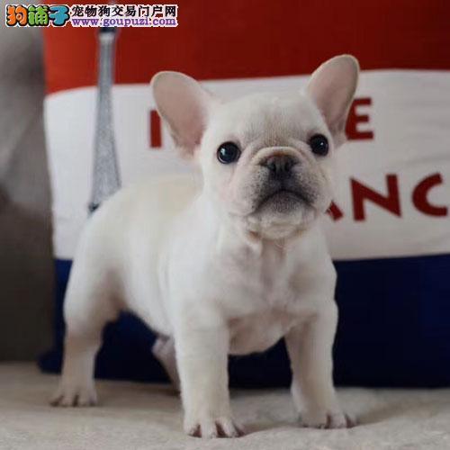 纯种法国斗牛犬,疫苗做齐,实体犬舍繁育