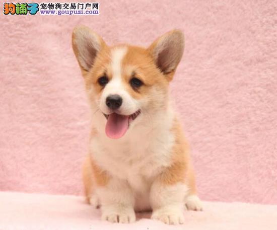 威尔士柯基犬,三色柯基两色柯基犬出售