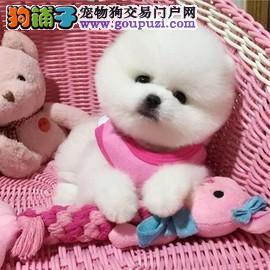 球体哈多利犬,可爱超萌俊杰犬出售