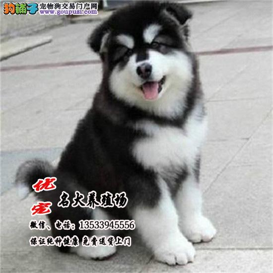 巨型熊版阿拉斯加犬、高品质、专业养殖、包纯种包养活