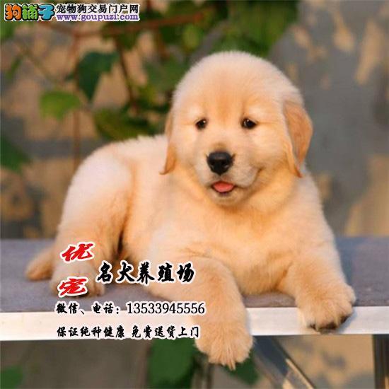 优宠名犬养殖场、出售赛级品质金毛犬幼犬、包纯种健康