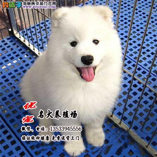 广东最大萨摩耶养殖场 正规信誉商家优宠名犬养殖场