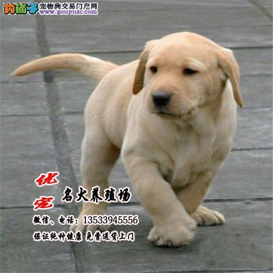 优宠名犬养殖场、神犬小七拉布拉多犬幼犬、包纯种健康