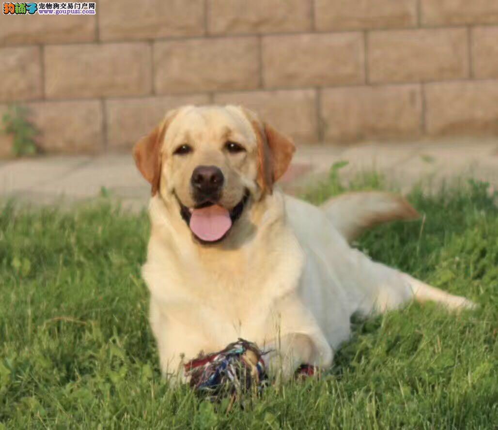 聪明导盲犬,纯种短毛犬,精品拉布拉多犬出售