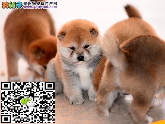 长期繁殖日本引进纯柴犬