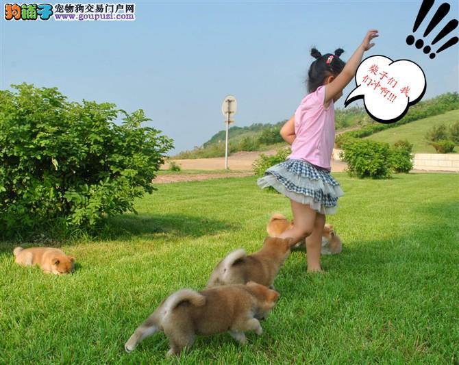 日系纯种柴犬,贵州哪里可以买到柴犬?
