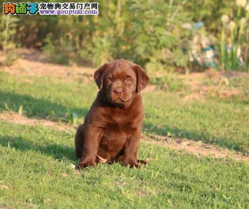 贵州哪里出售纯种拉布拉多犬?带血统吗?