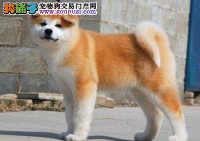 哪里可以买到纯种日系秋田犬?