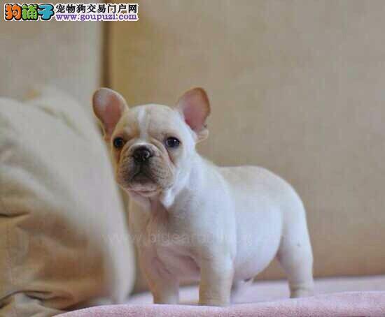 法国斗牛犬,繁殖基地出售,陕西繁殖基地