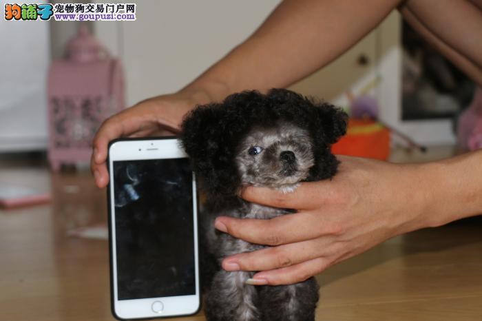 陕西哪里卖纯种泰迪熊宝宝的?