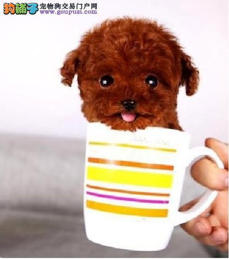 纯种茶杯狗多少钱 杭州哪里卖茶杯犬 正宗茶杯犬图片